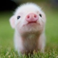 Mr.piglets