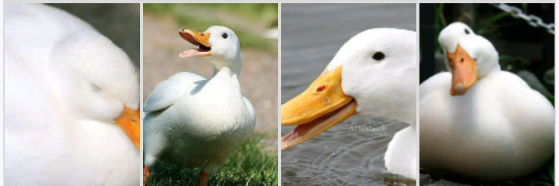 Duck0501Jp