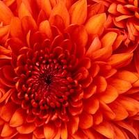 196d4a23 727e 4b0f 85fc c7b9eaf8f7c7 chrysanthemum