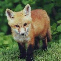 stp_fox