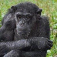 両親がチンパンジー