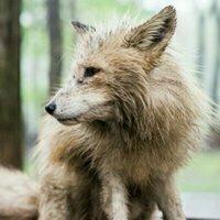 fox_renon