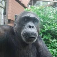 チンパンゴリラ猿